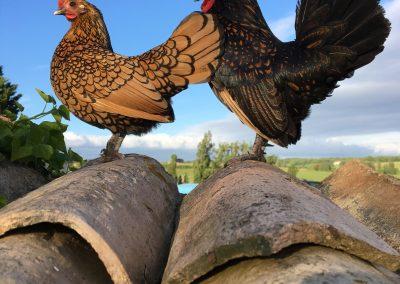 Chicken neighbours
