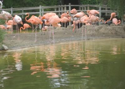 Flamingos in Palmyre Zoo