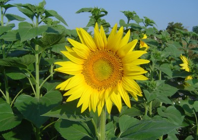 The surrounding fields are bright with sunflowers